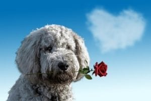 Valentines dog with rose in mouth
